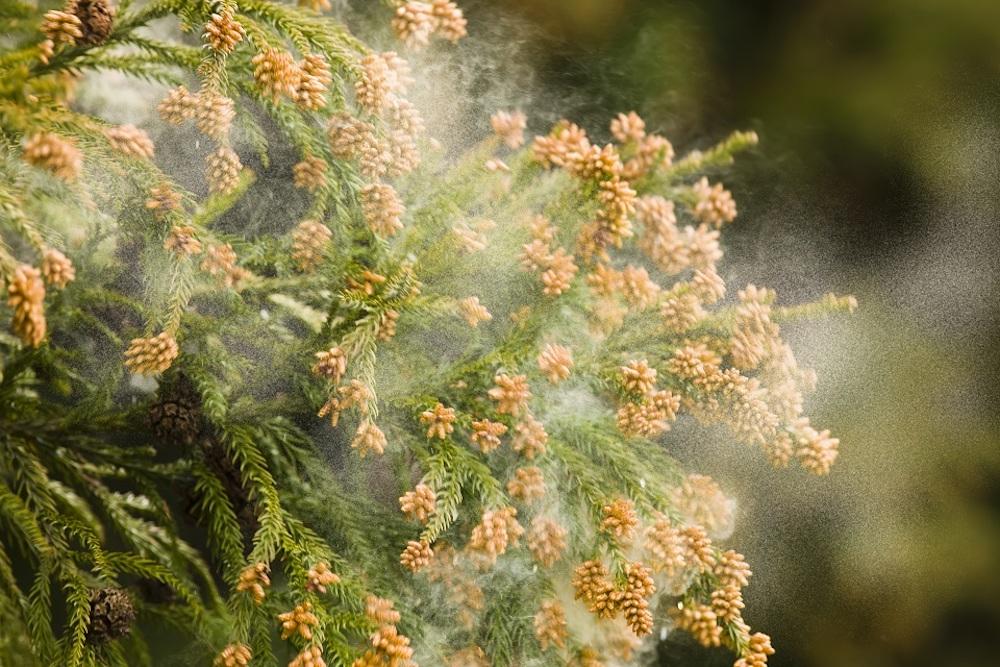 生のトマトで花粉症が悪化?ヒスタミンと交差抗原性とは!